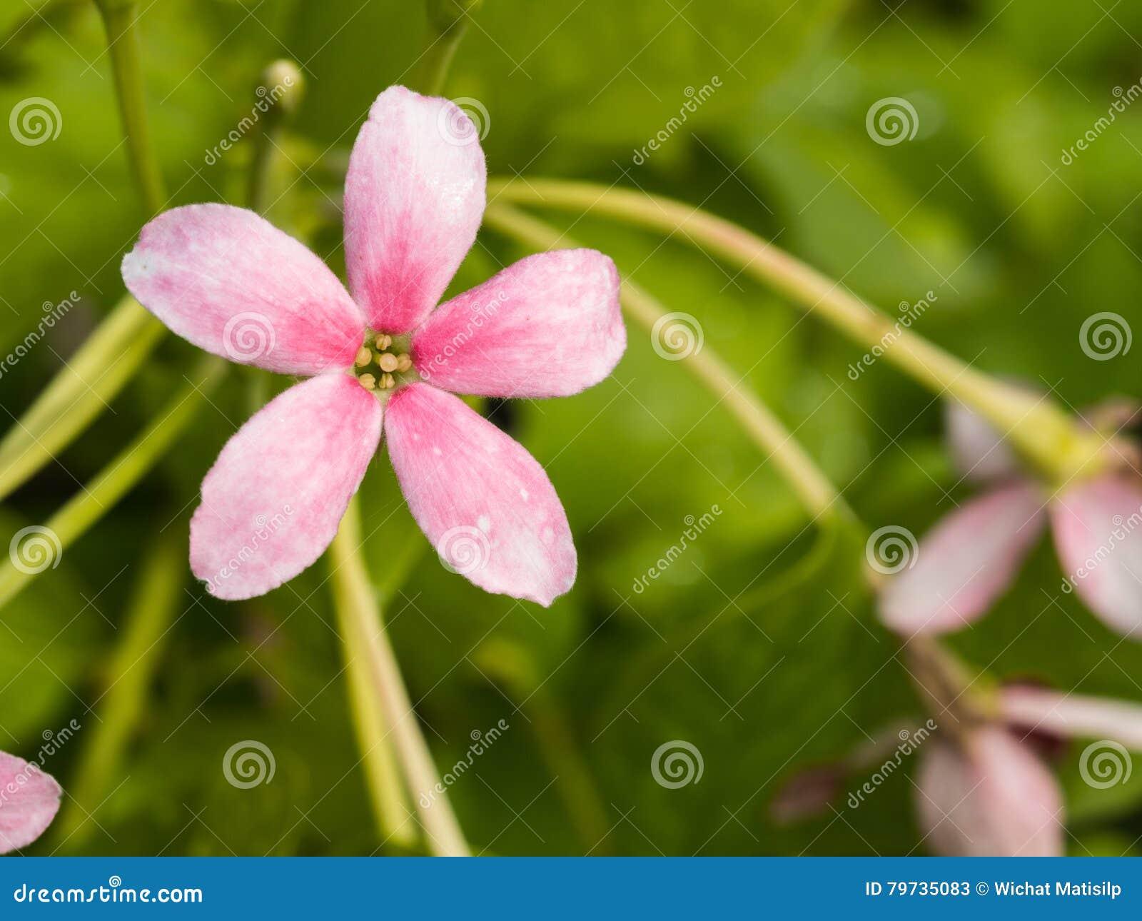 Poca floración rosada de la flor blanca