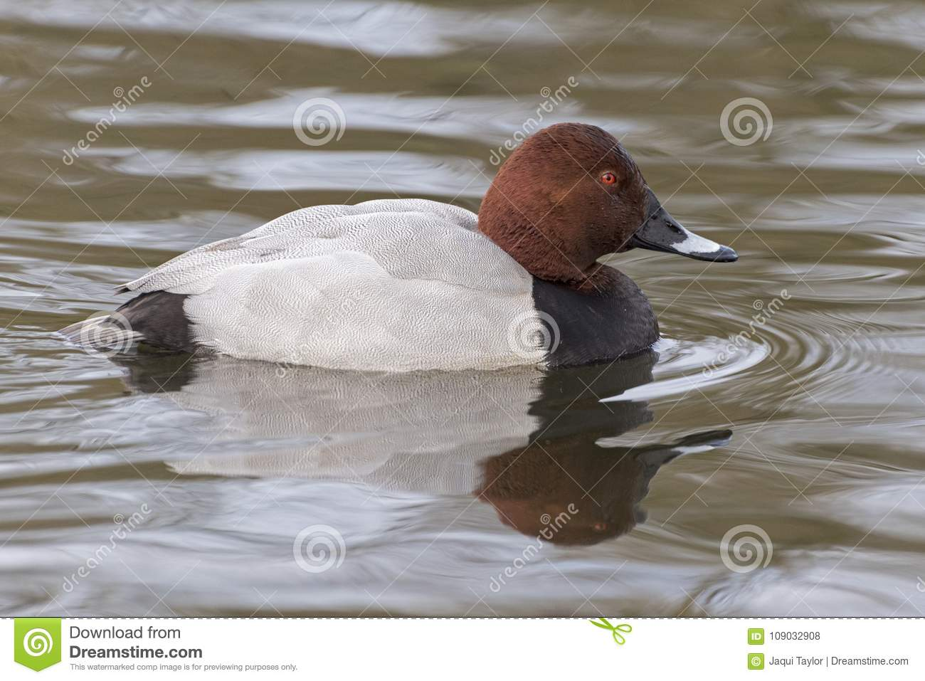 Download A Pochard Swimming On The Cemetery Lake Stock Photo - Image of southampton, pond: 109032908