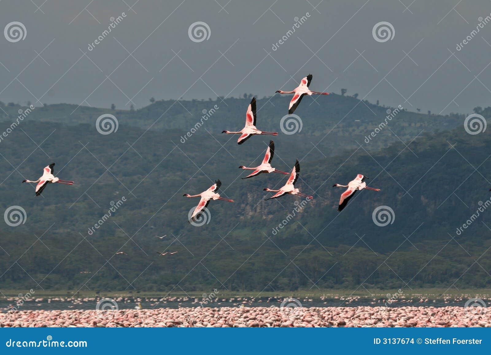 Pochi fenicotteri durante il volo