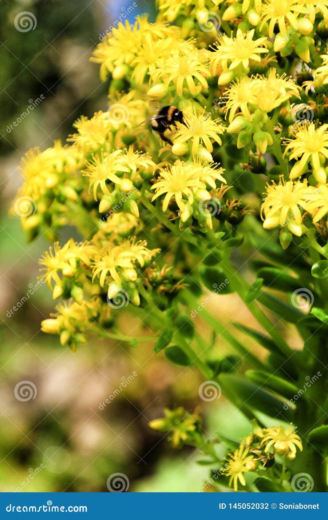Poco abeja en las flores de Sedum en el jardín