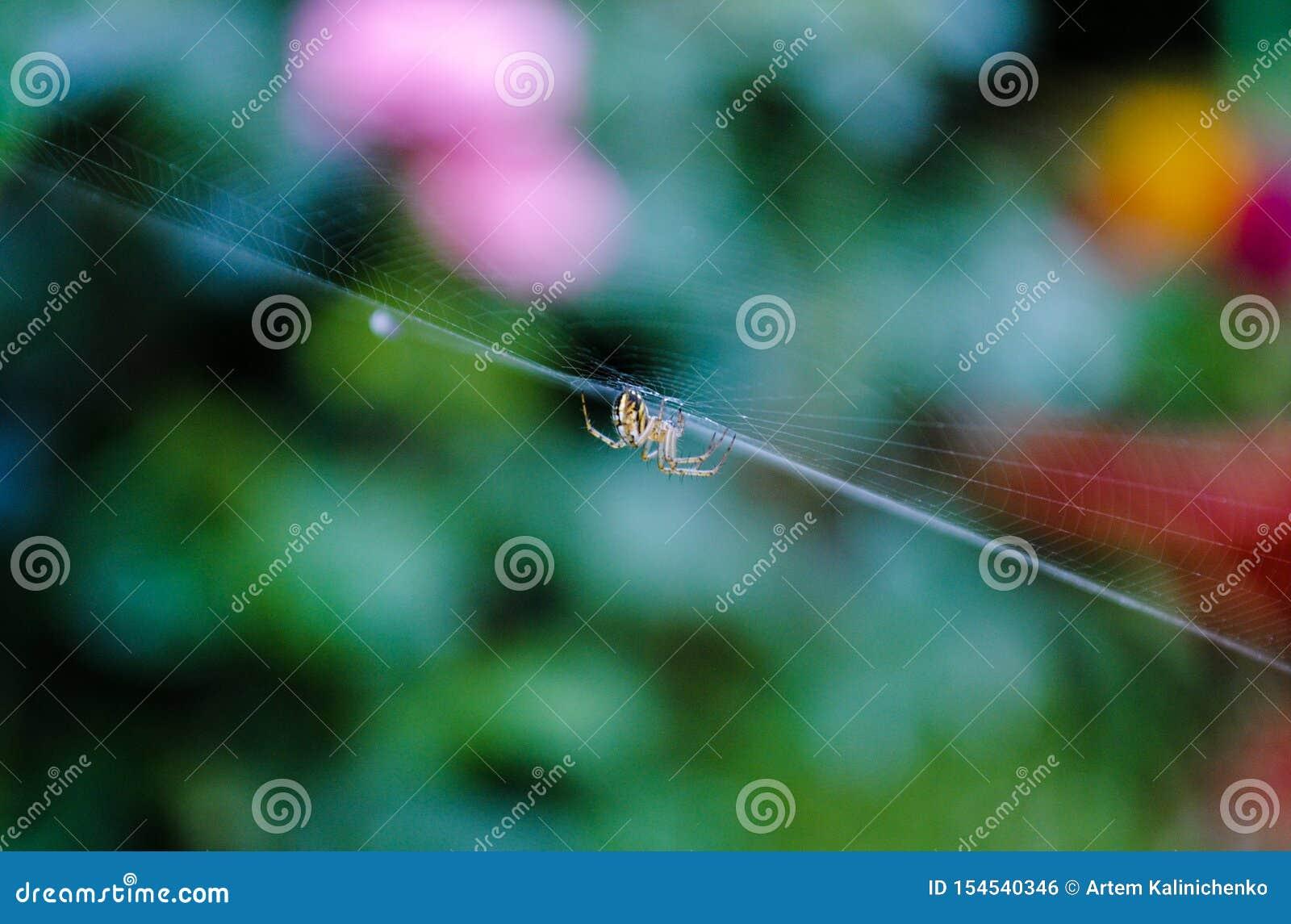 Poco araña amarilla en el spiderweb