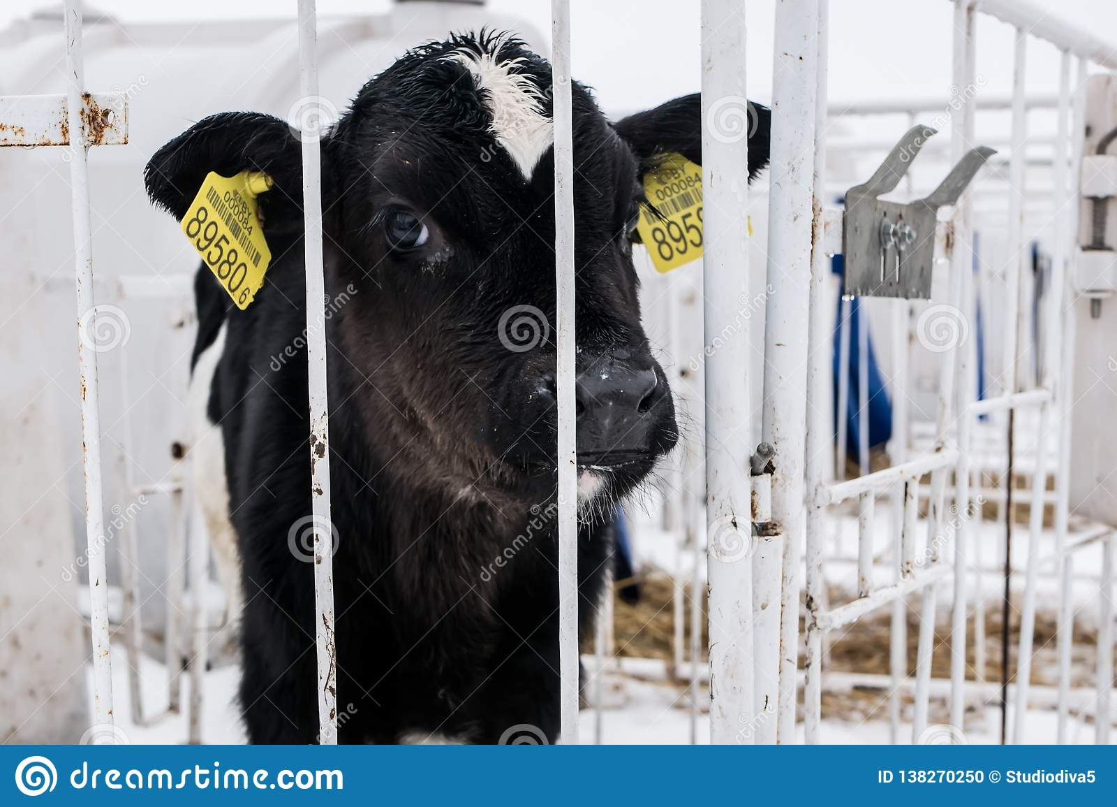 Poco becerro en una granja lechera farming