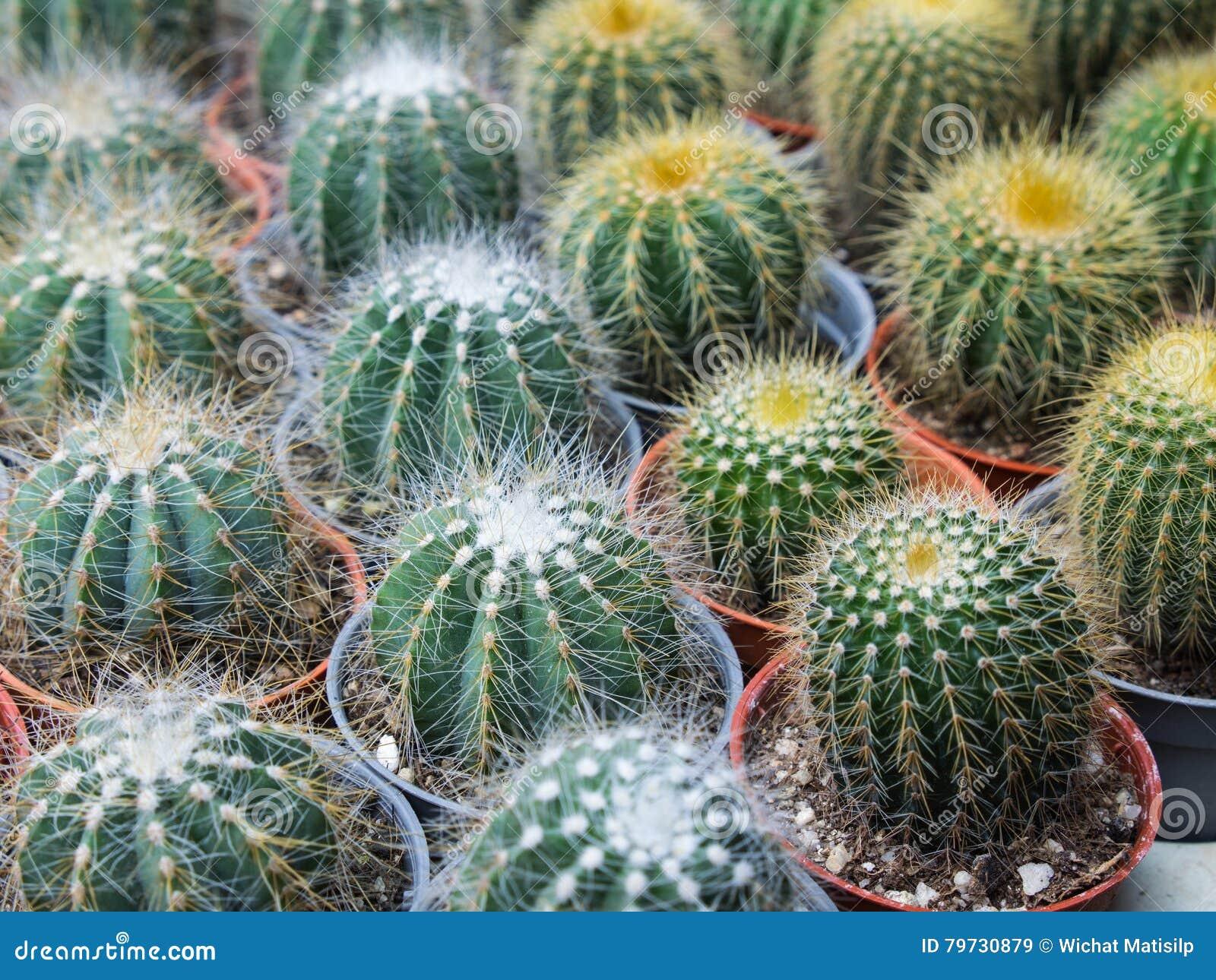 Poco cactus en maceta
