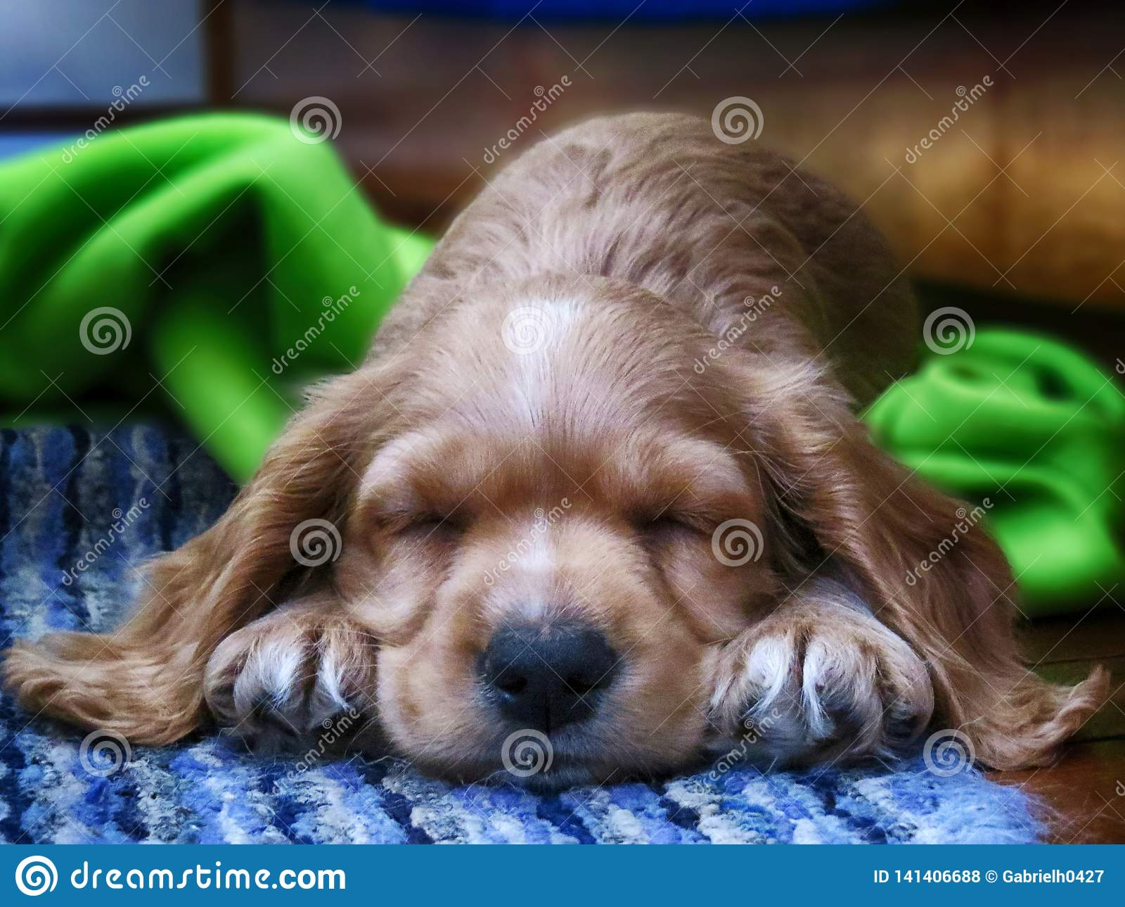 Poco cane di cocker spaniel dell oro che dorme su un tappeto blu