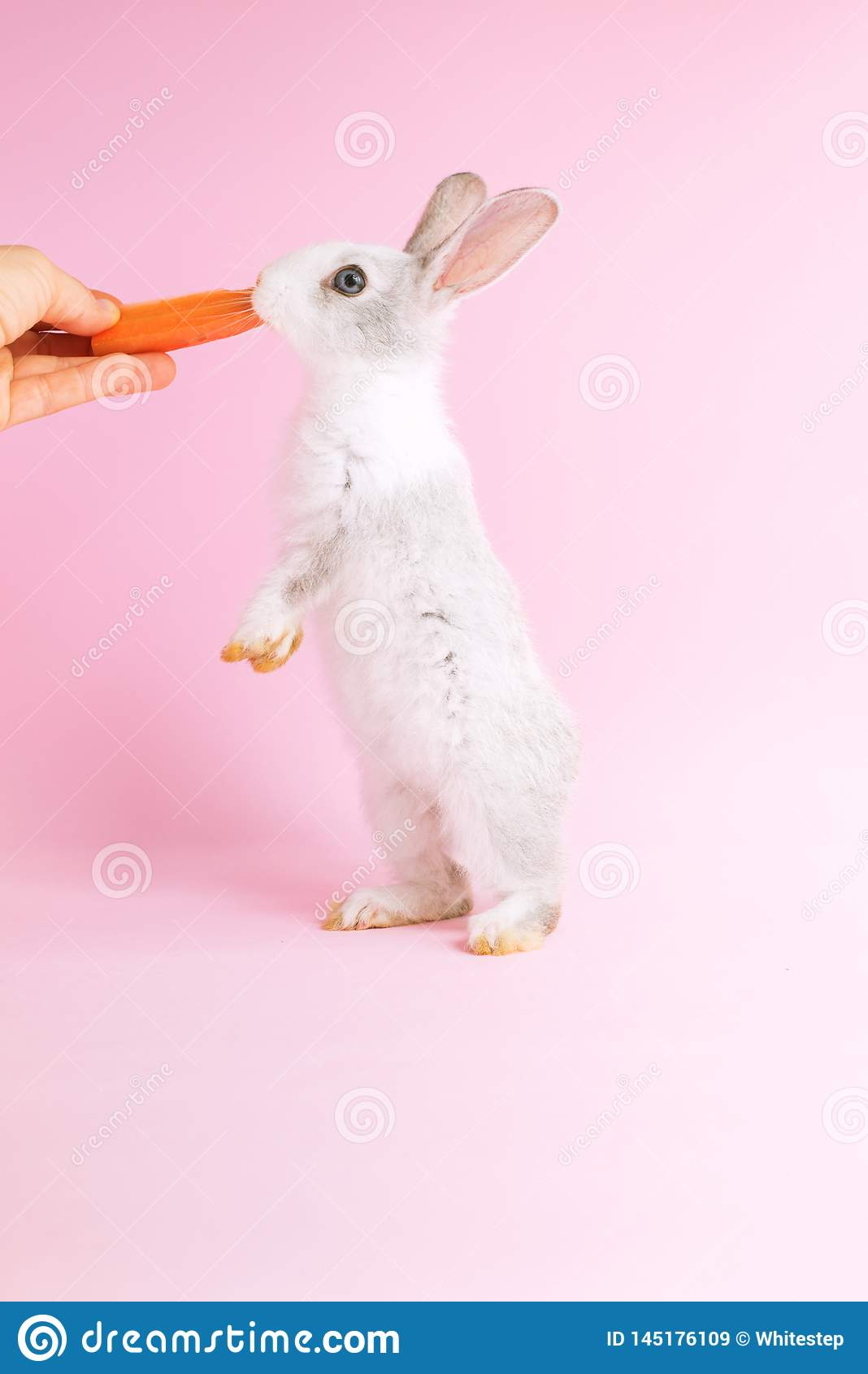 Poco coniglio addomesticato che mangia un fondo di rosa della carota