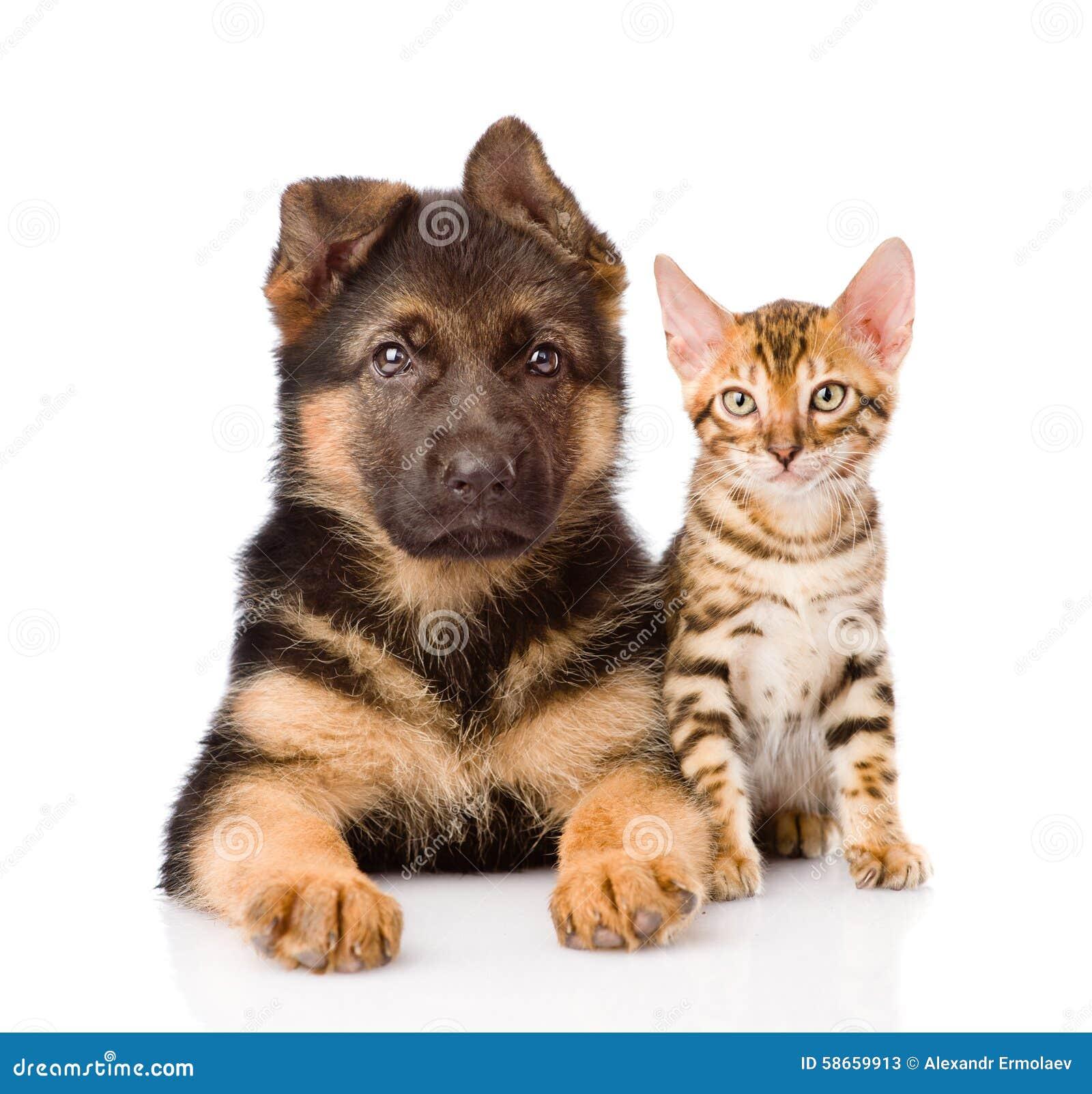 Poco Cucciolo Di Cane Del Gatto Del Bengala E Del Pastore Tedesco
