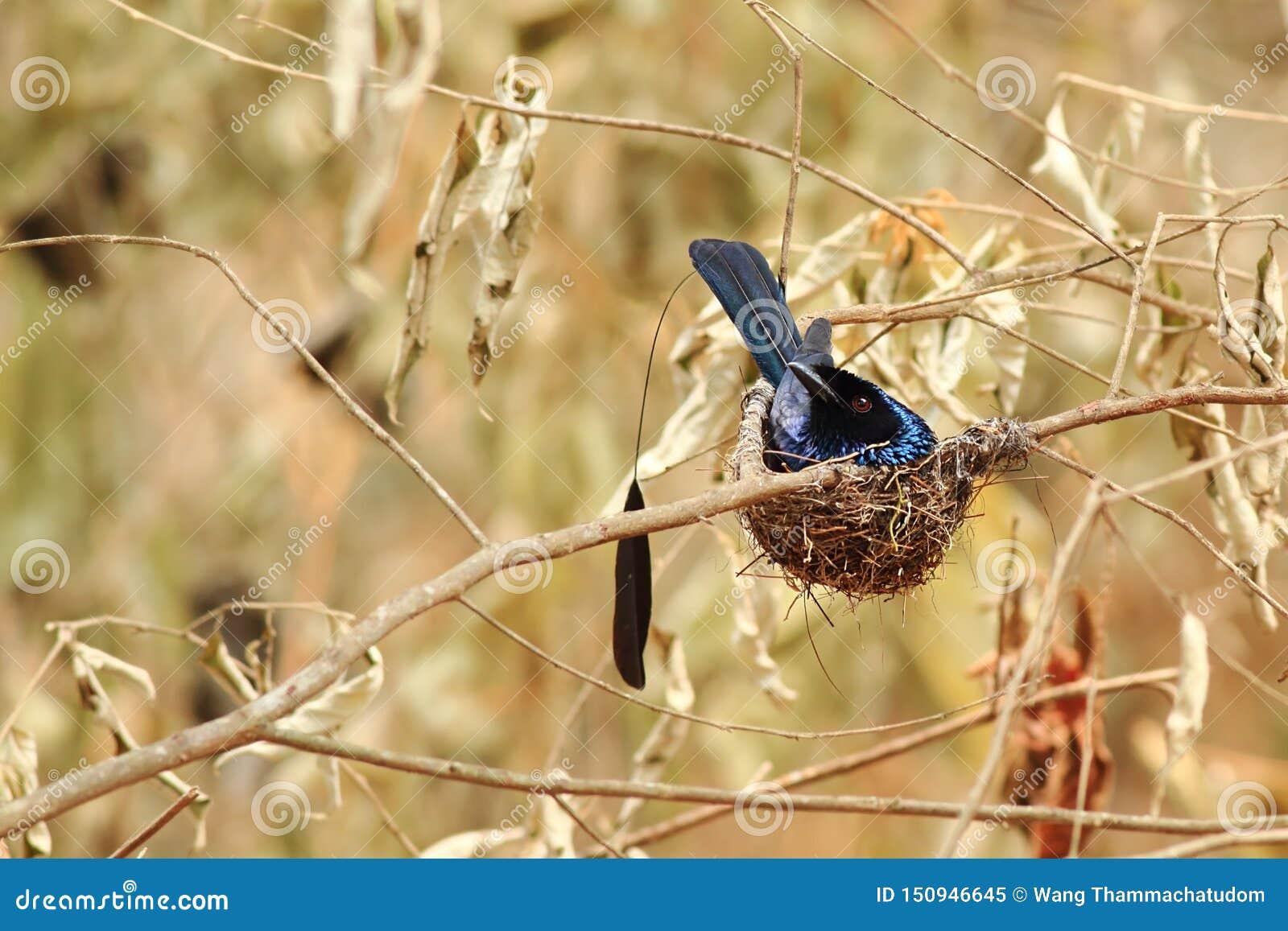 Poco Drongo Racchetta-munito nel nido