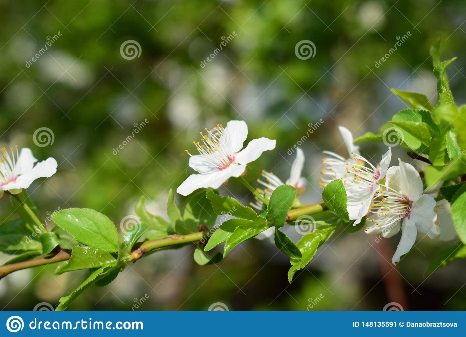 Poco flores blancas en la rama de árbol