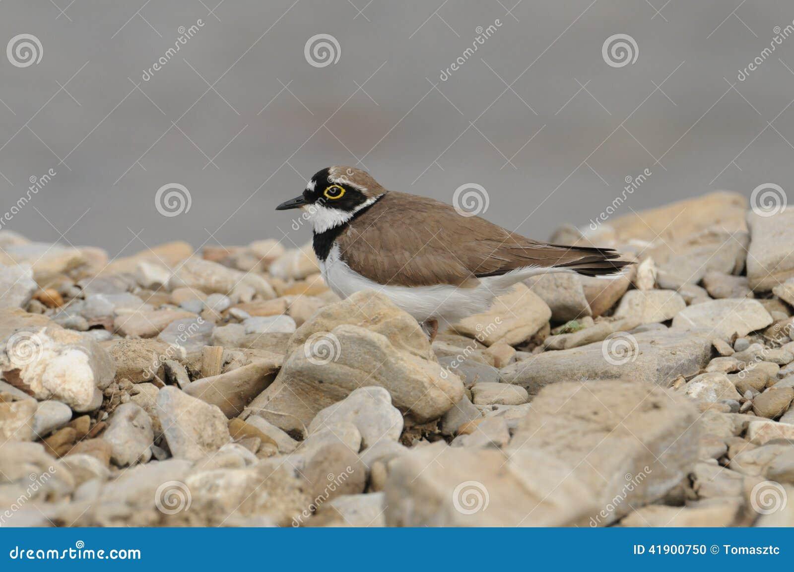 Poco pájaro anillado del chorlito (dubius del Charadrius)