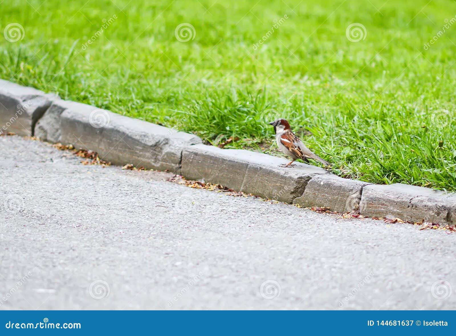 Poco pájaro del gorrión que camina en el encintado de la cama de flor en parque de la primavera