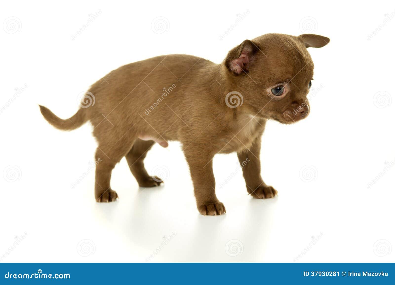 Poco perrito marrón de la chihuahua del color