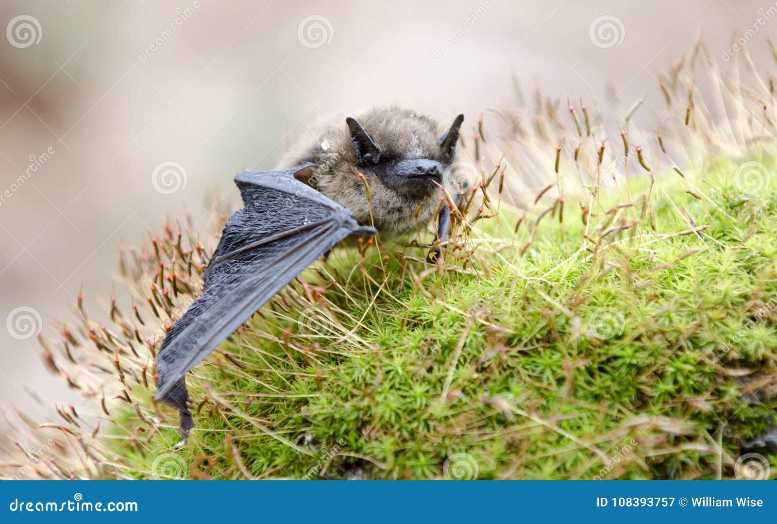 Poco pipistrello di Brown, Georgia U.S.A.
