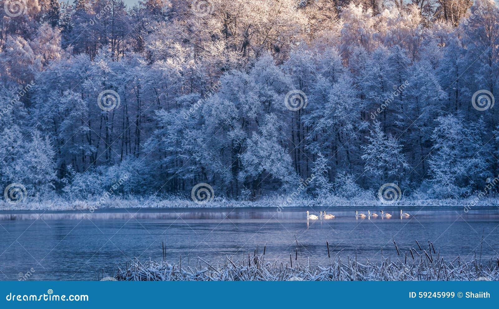 Pocos cisnes en la salida del sol en el lago congelado