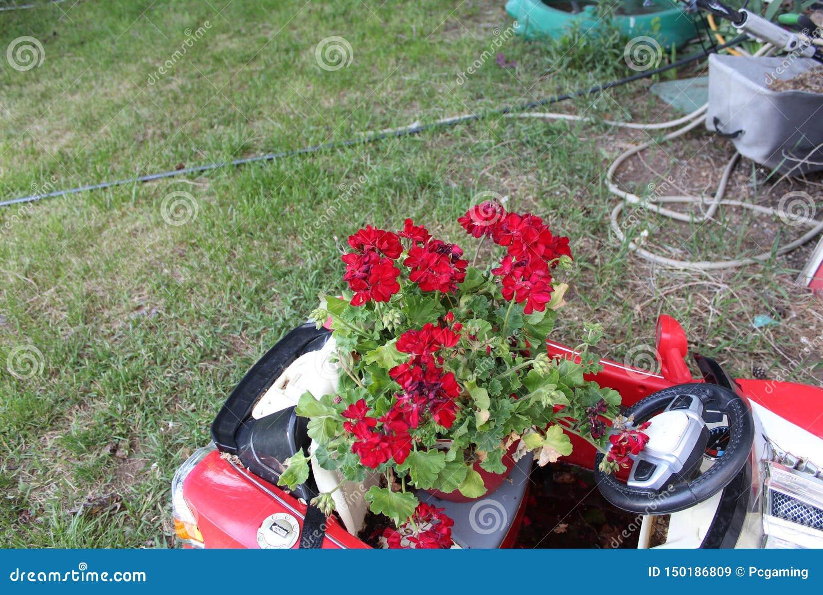 Pocos se cierran encima de la rosa de color rojo oscuro púrpura r
