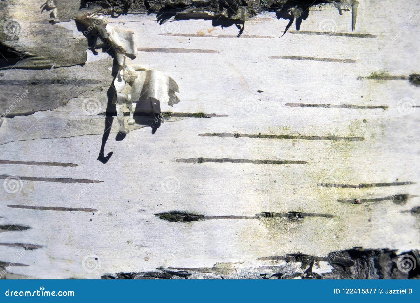 Podławy brzozy barkentyny czarny i biały naturalny tło