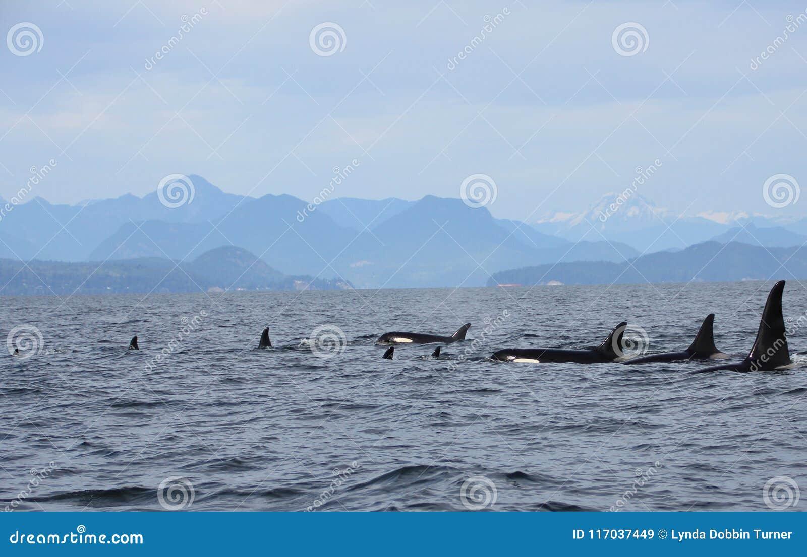 Pod of Resident Orcas of the coast near Sechelt, BC