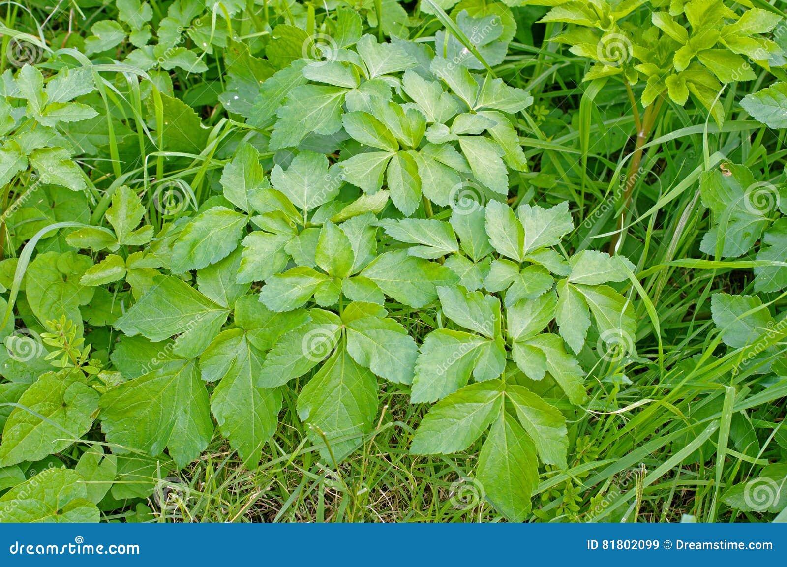 Podagraria Aegopodium, земной старейшина, от зонтичные семьи