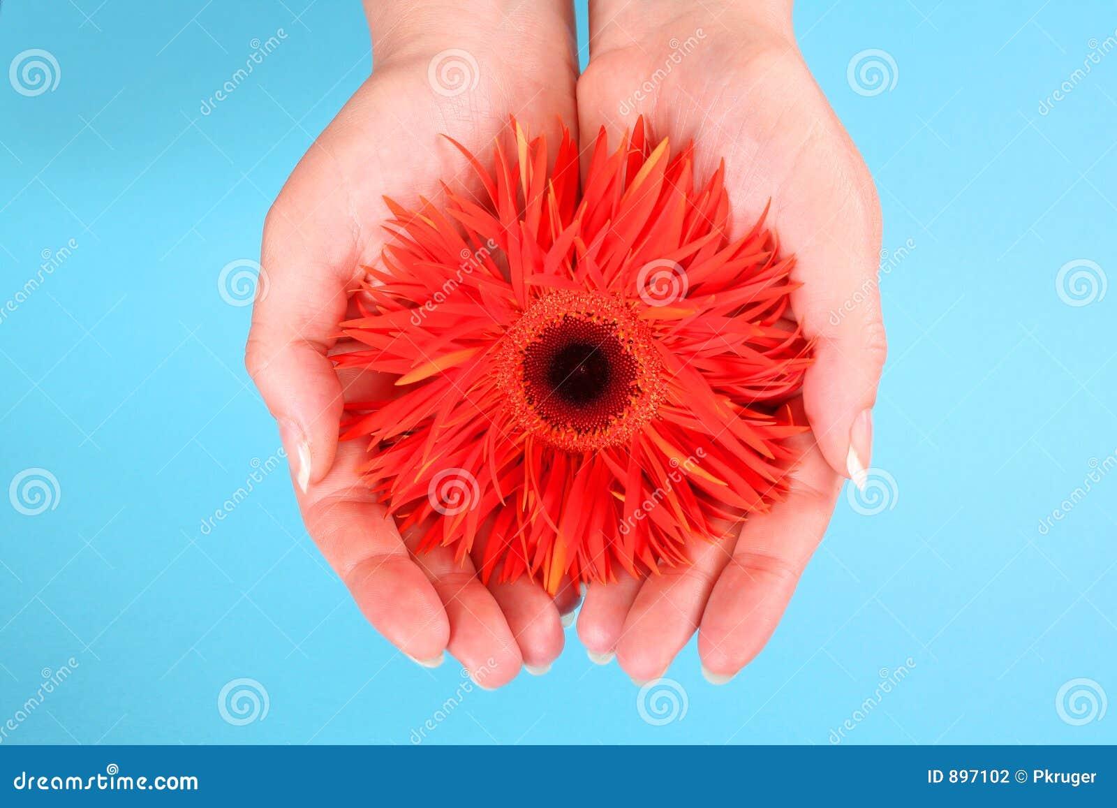 Podaj gerbera pomarańczę gospodarstwa
