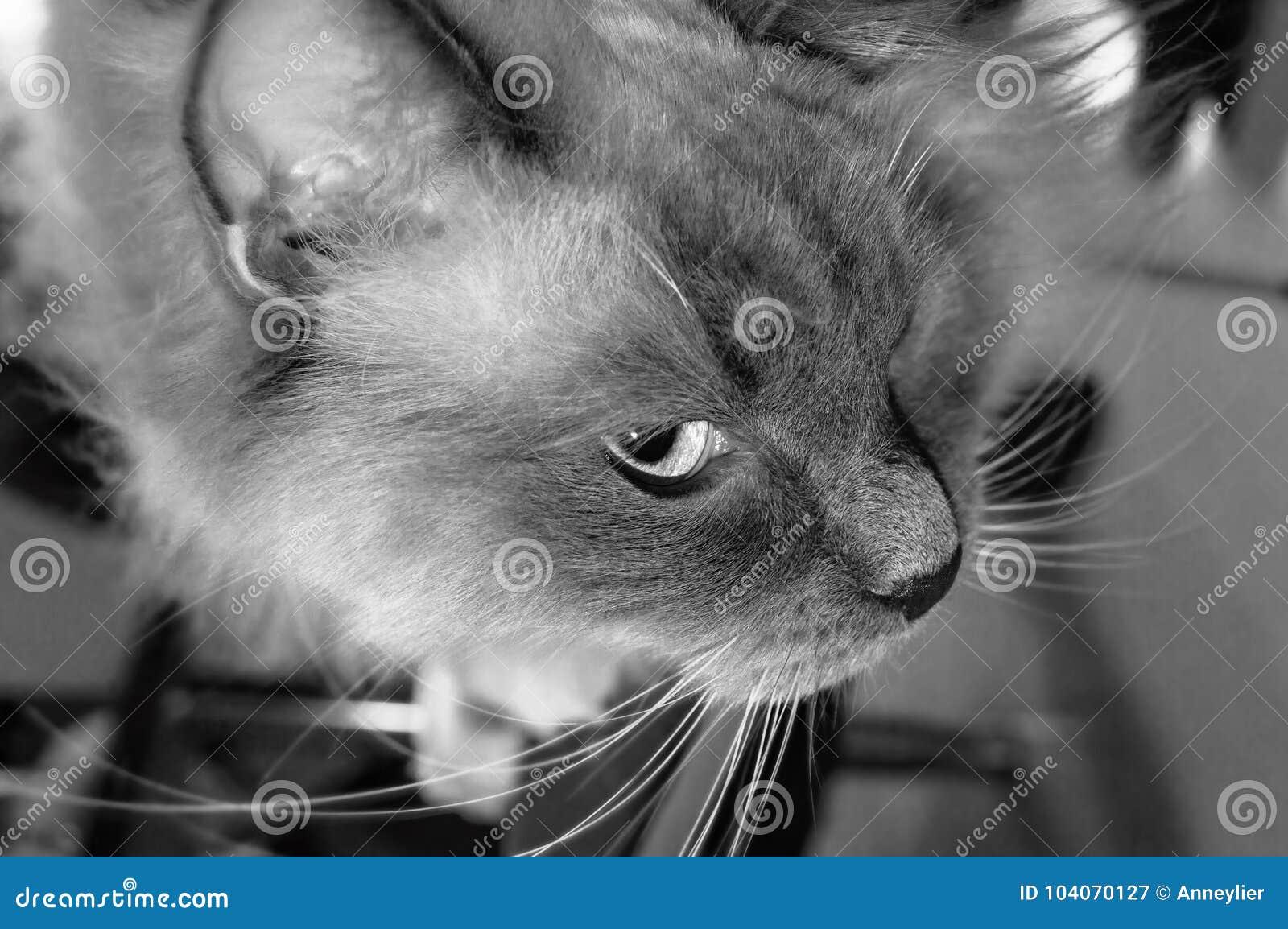 Podglądający Ragdoll Kot Czarny I Biały Obraz Stock Obraz Złożonej