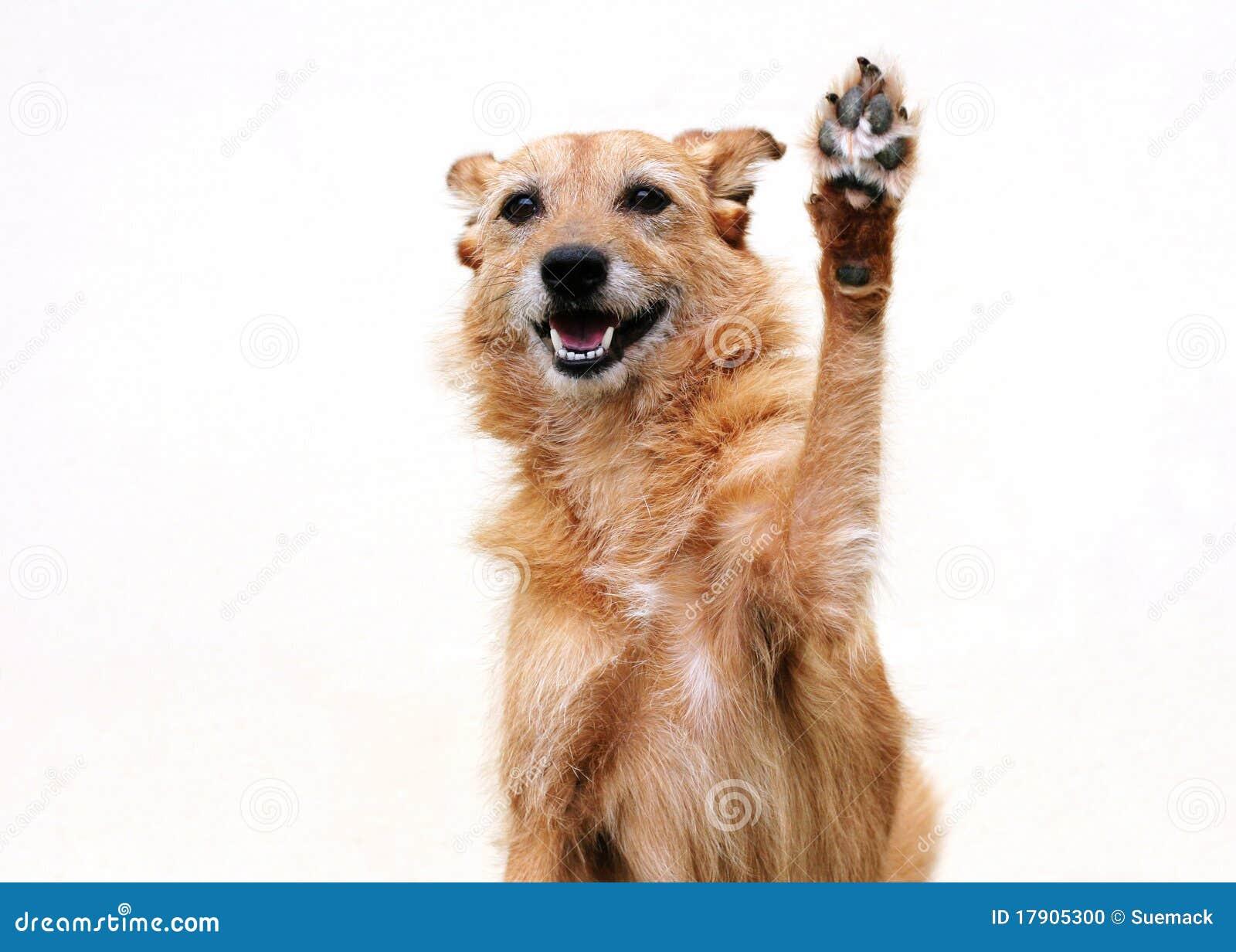 Podnosząca psia łapa