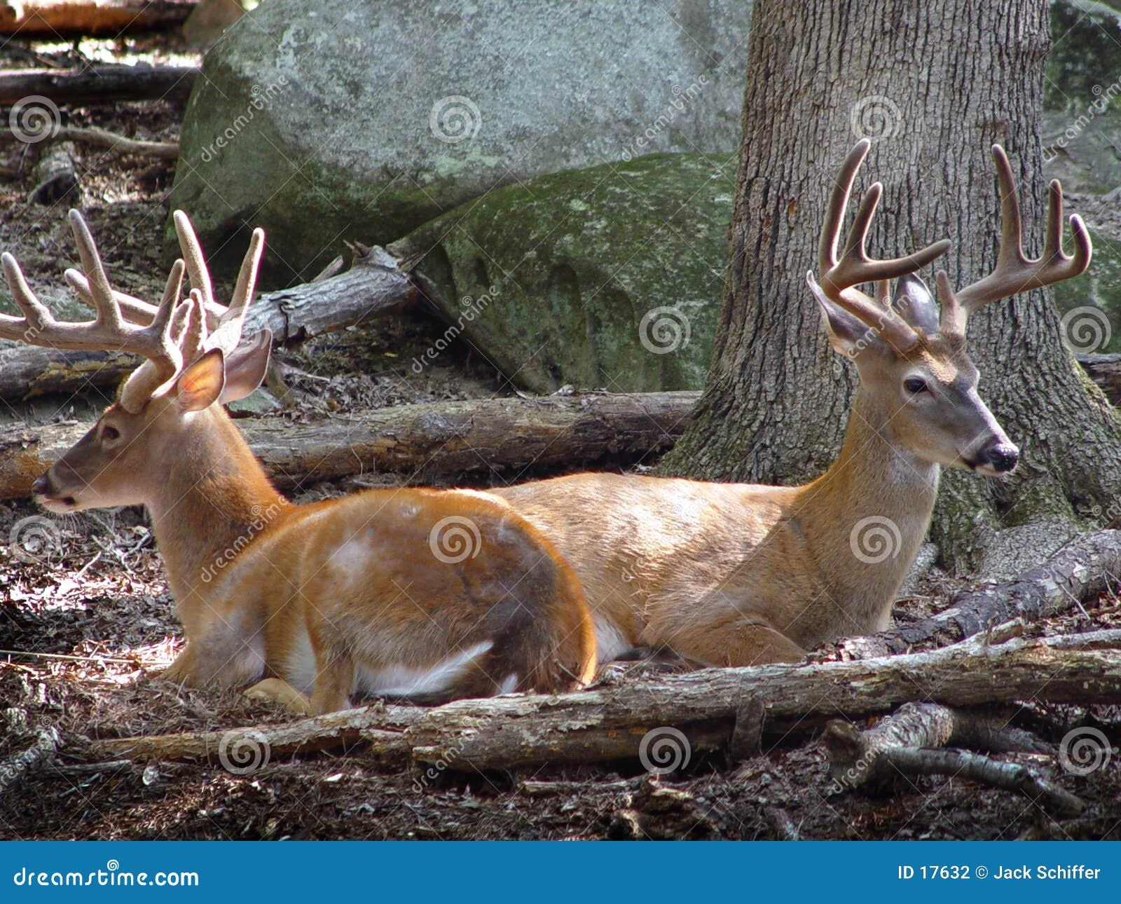 Podpórki jelenie
