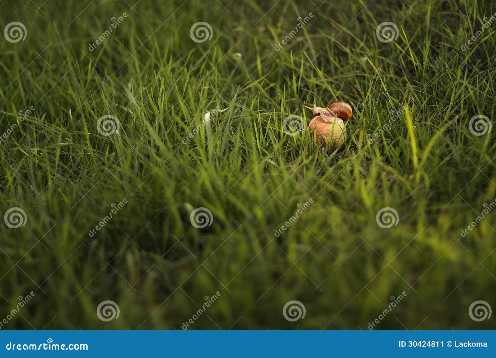 Podrożec na jabłku