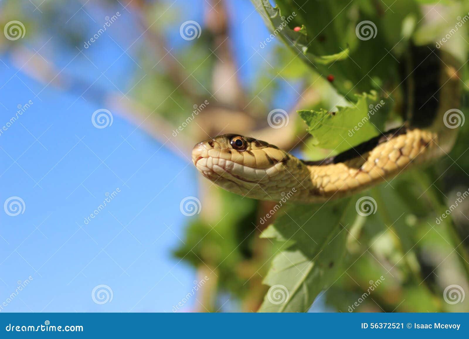 Podwiązka wąż