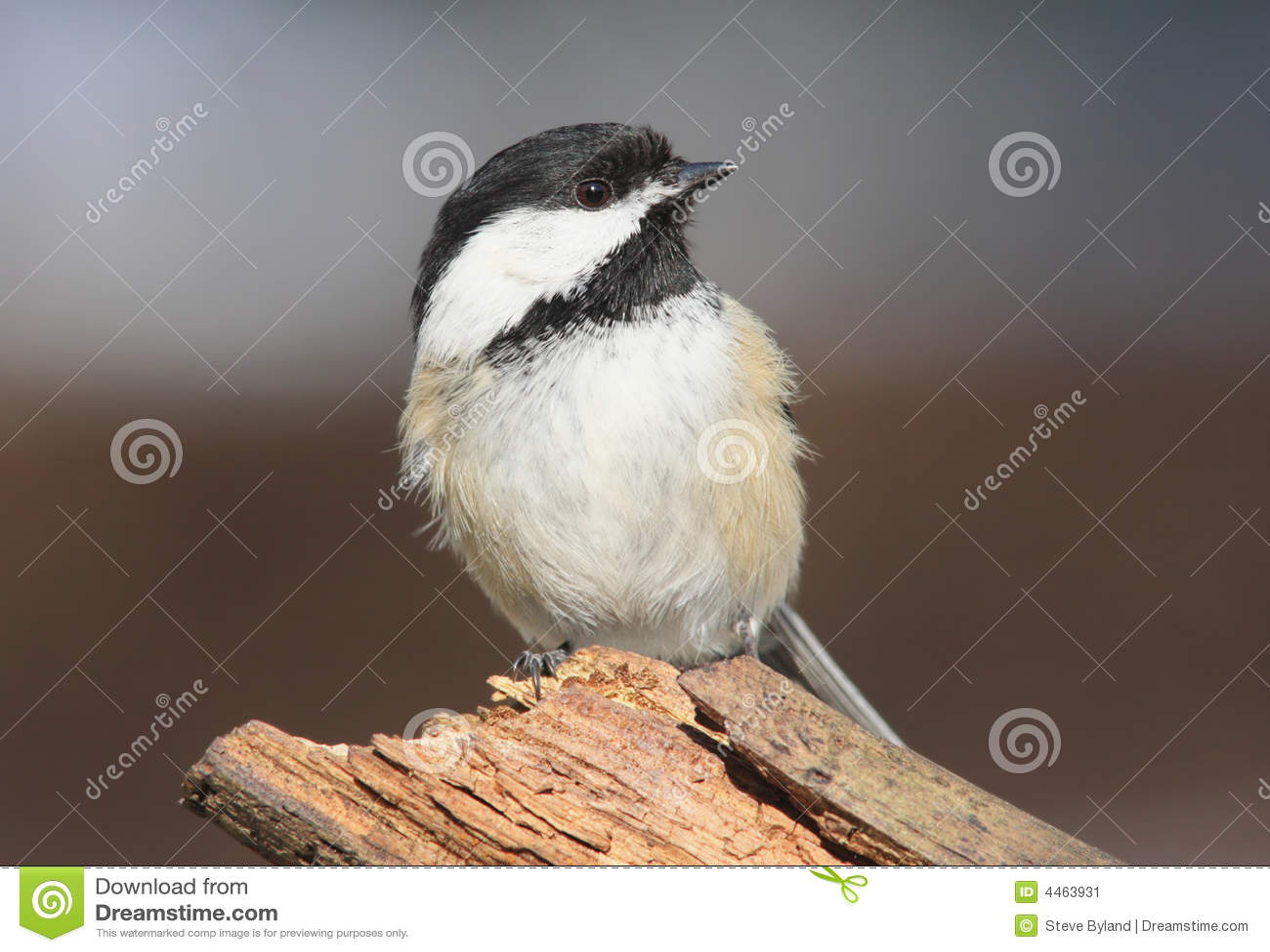 Poecile capped chickadee för atricapilla black