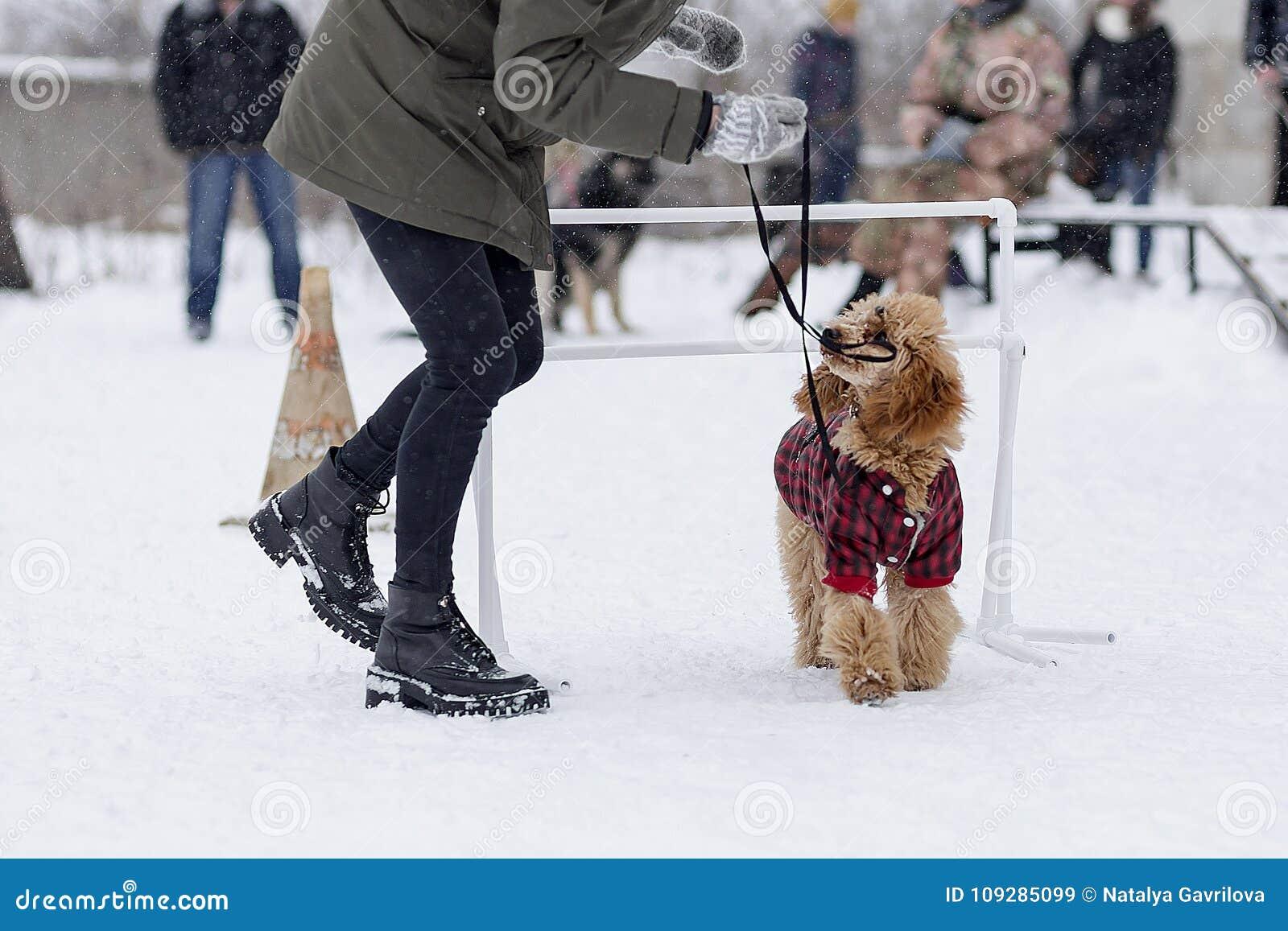 Poedel opleiding op de straat in de winter