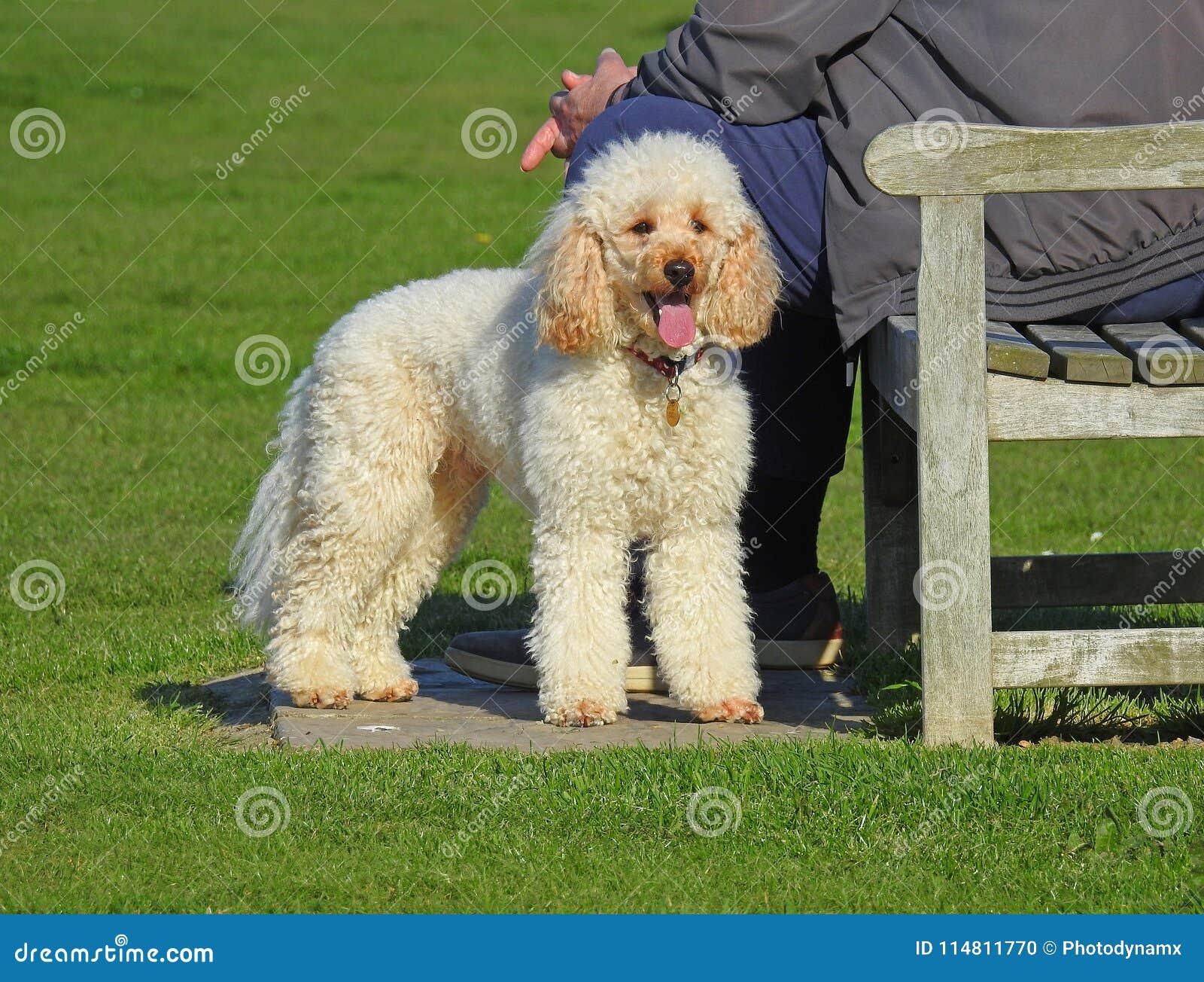 Poedelhond die in park rusten