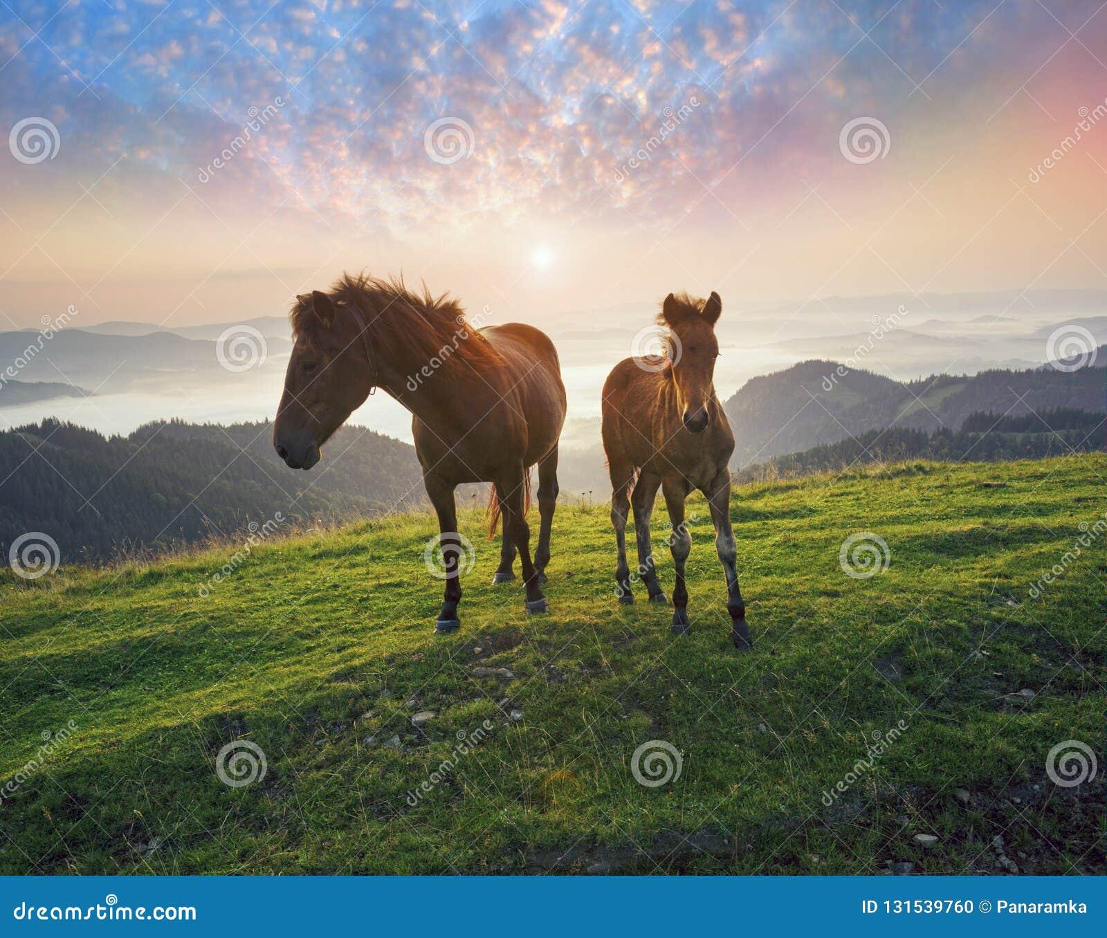 Pogodny ranek i bezpłatni konie pasamy na wierzchołku wśród dzikich Karpackich panoram Ukraina dla zimy, i wszystkie jesień i lat