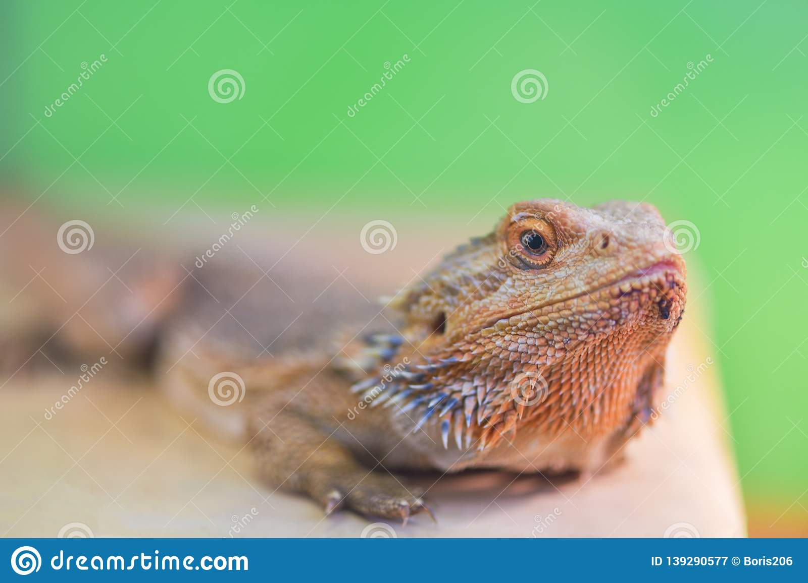 Pogona vitticeps, Pogona barbata.Proud Bearded Agama sits on a stand on a green background in a terrarium close - up of the neck