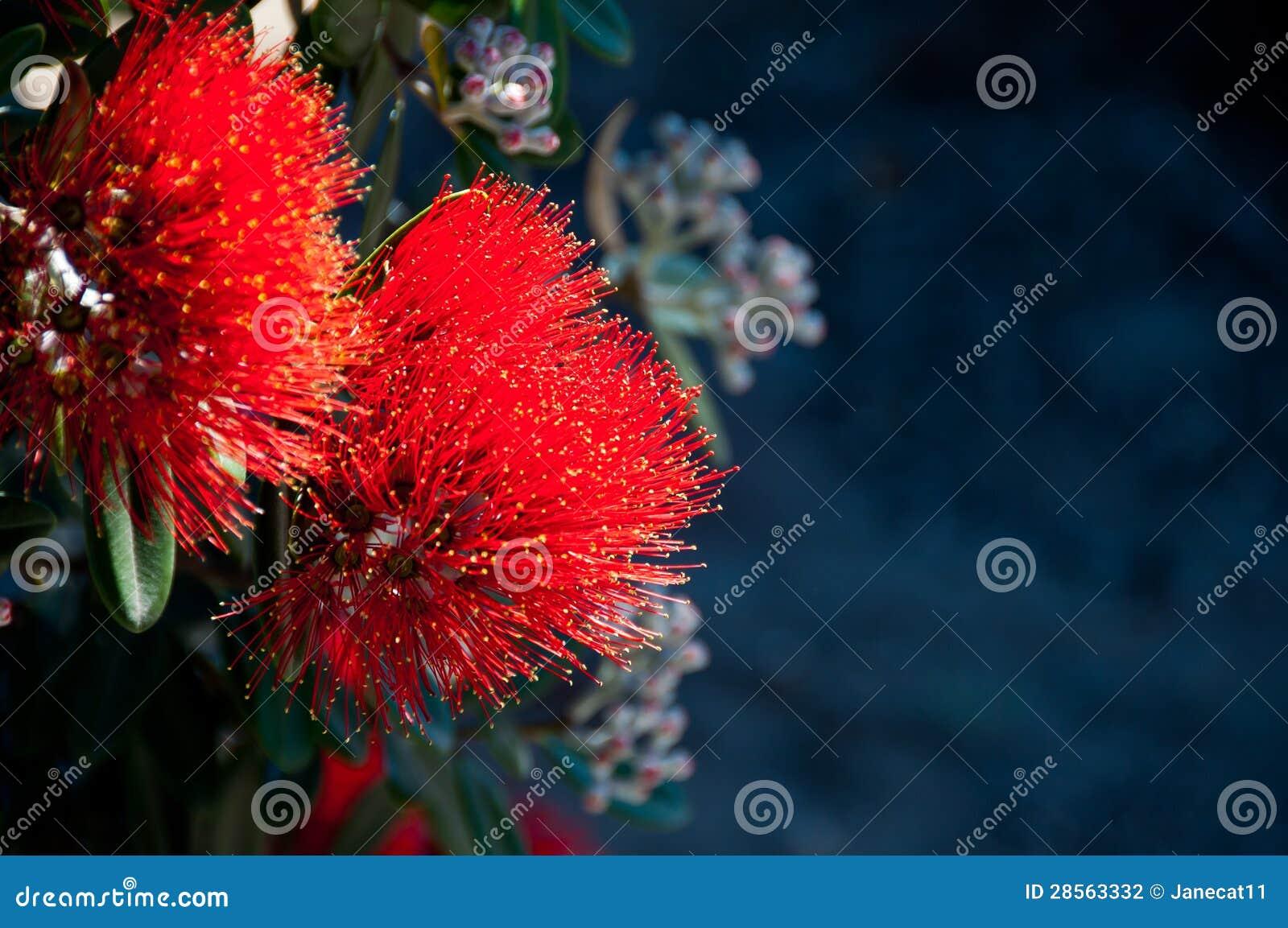 Pohutakawa blommor
