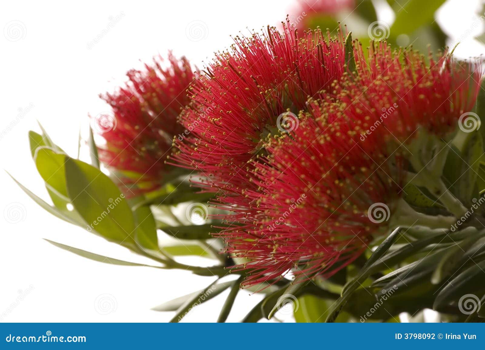 Pohutukawa - árbol de navidad de Nueva Zelandia.