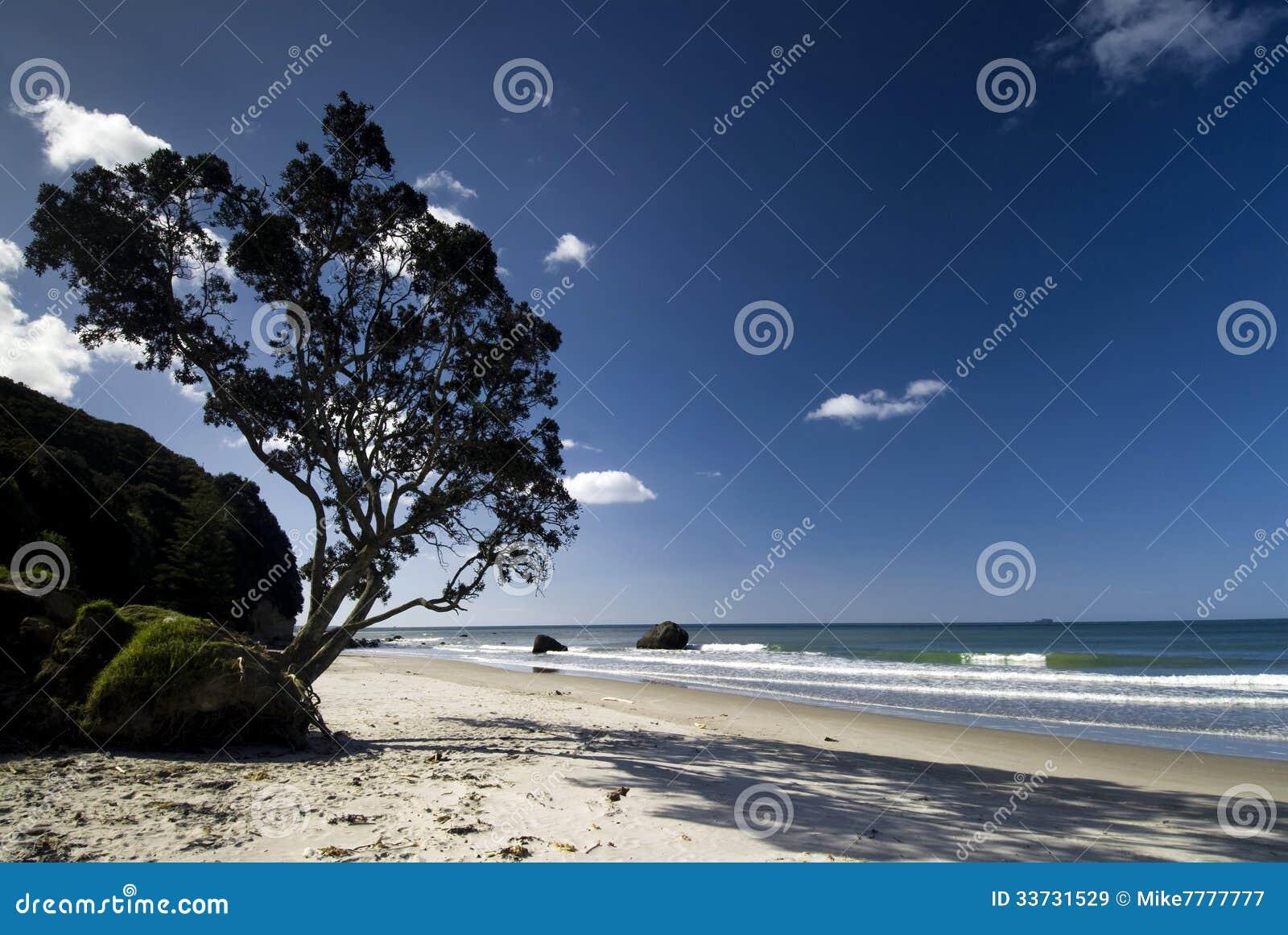Дерево Pohutukawa на северном пляже острова, Новой Зеландии.