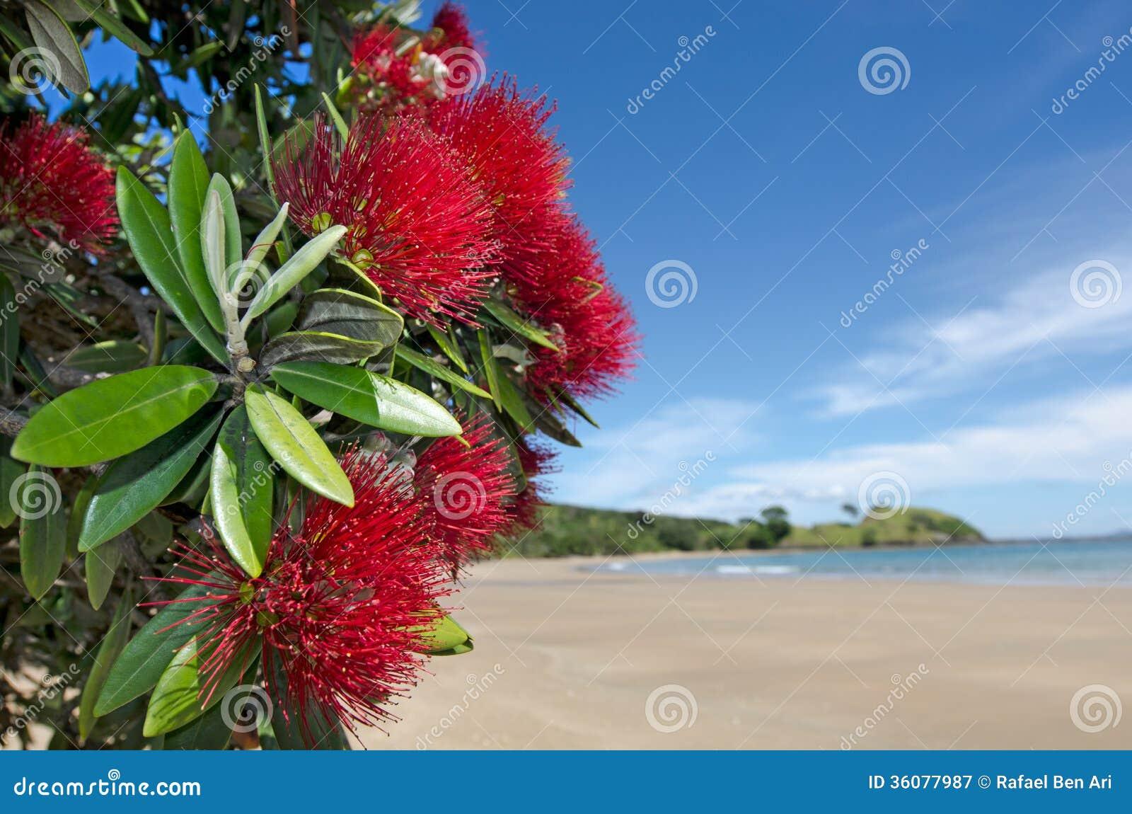 pohutukawa red flowers blossom stock image image 36077987