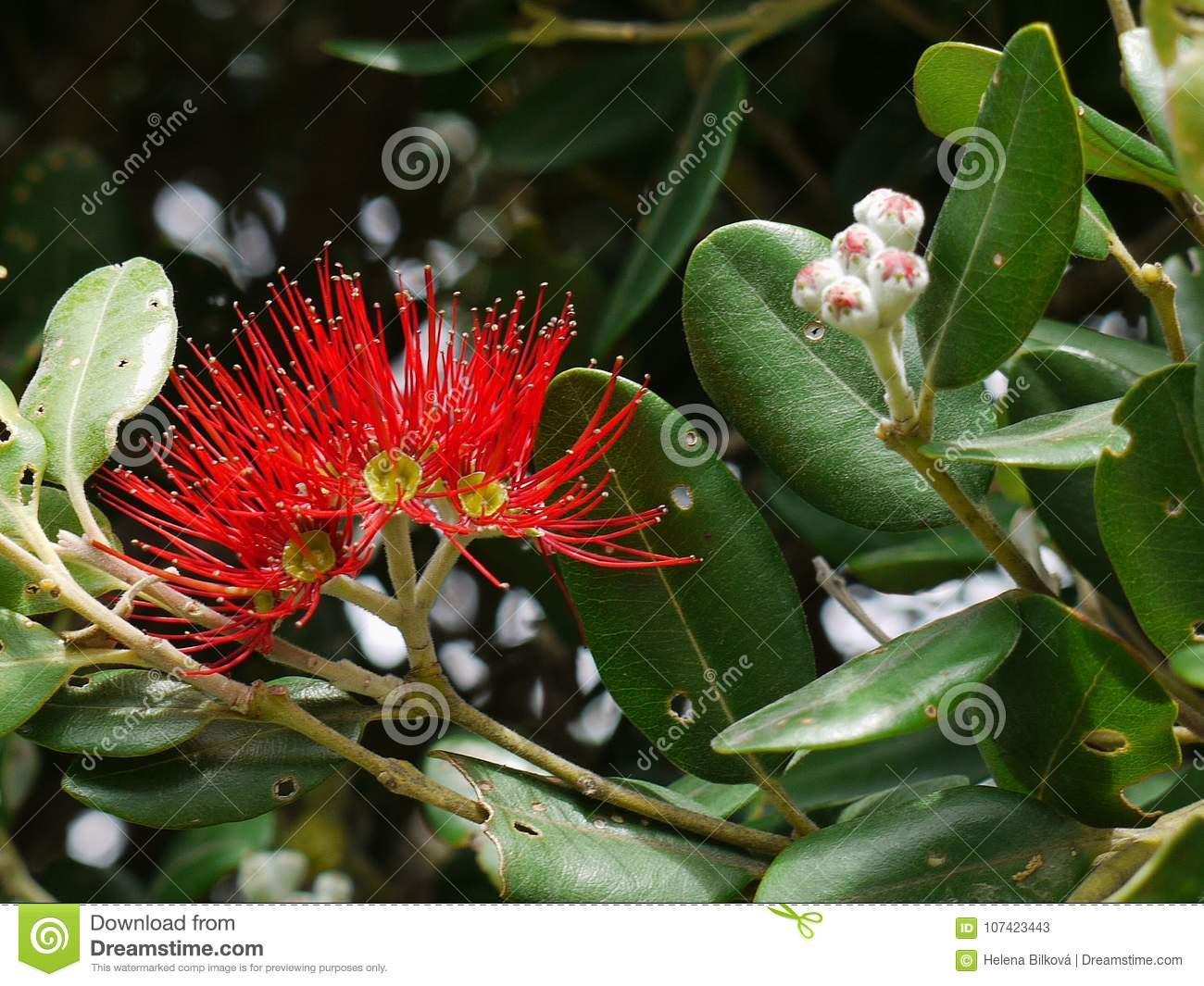 Pohutukawa Tree Red Flowers Stock Image Image Of Leaves Beauty