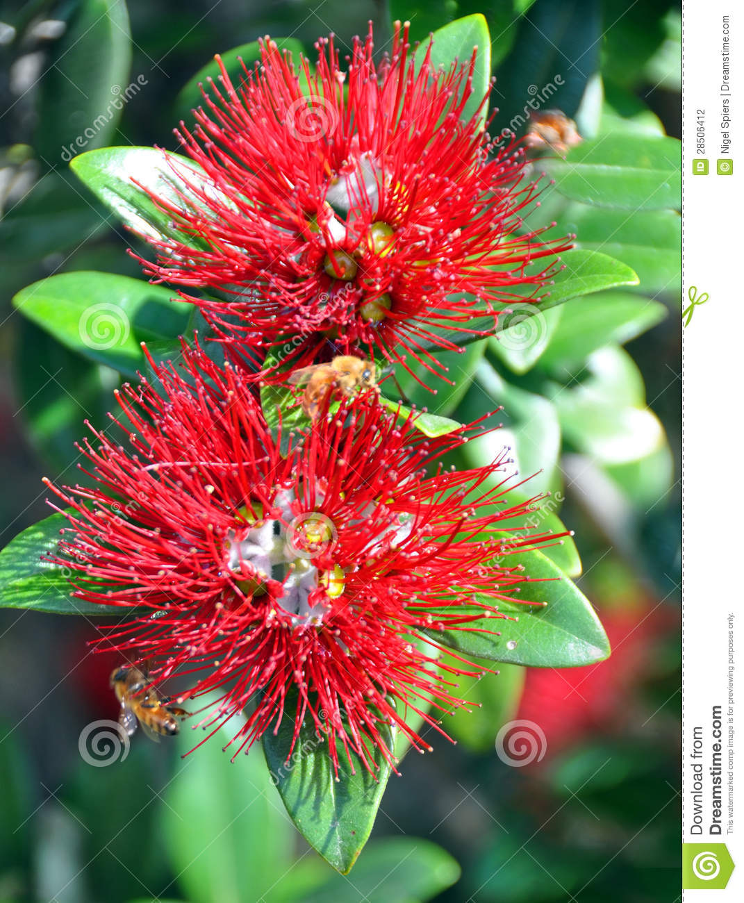 Pohutukawa Two Flowers Bees New Zealand Christmas Tree Stock