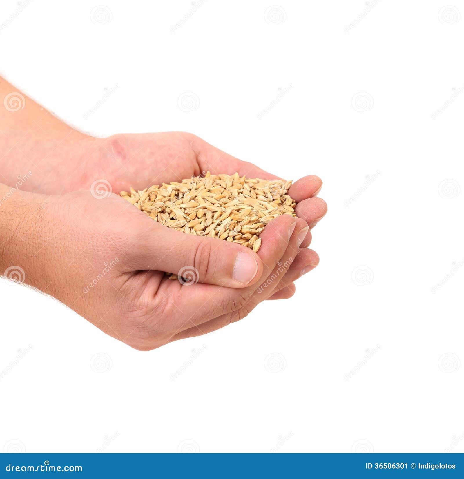 Poignée de grain de blé.