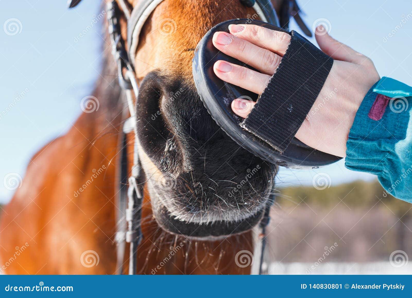 Poils de brossage de fille sur le visage d un cheval rouge