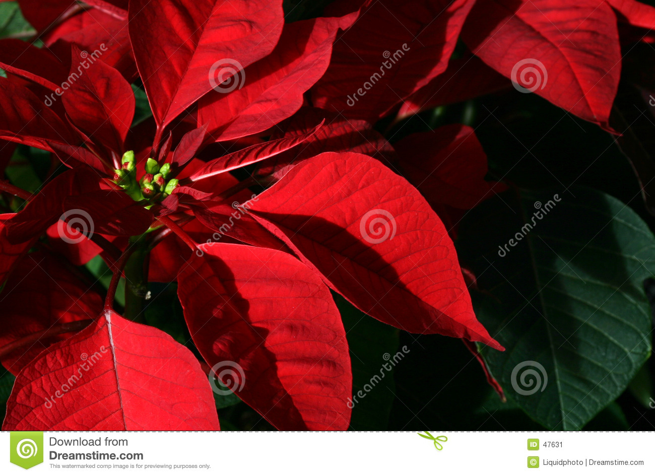 Download Poinsettia stock image. Image of holiday, poinsettia, bloom - 47631