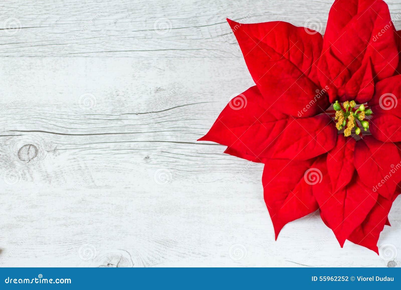 Poinsettia Christmas Flower Stock Photo Image 55962252