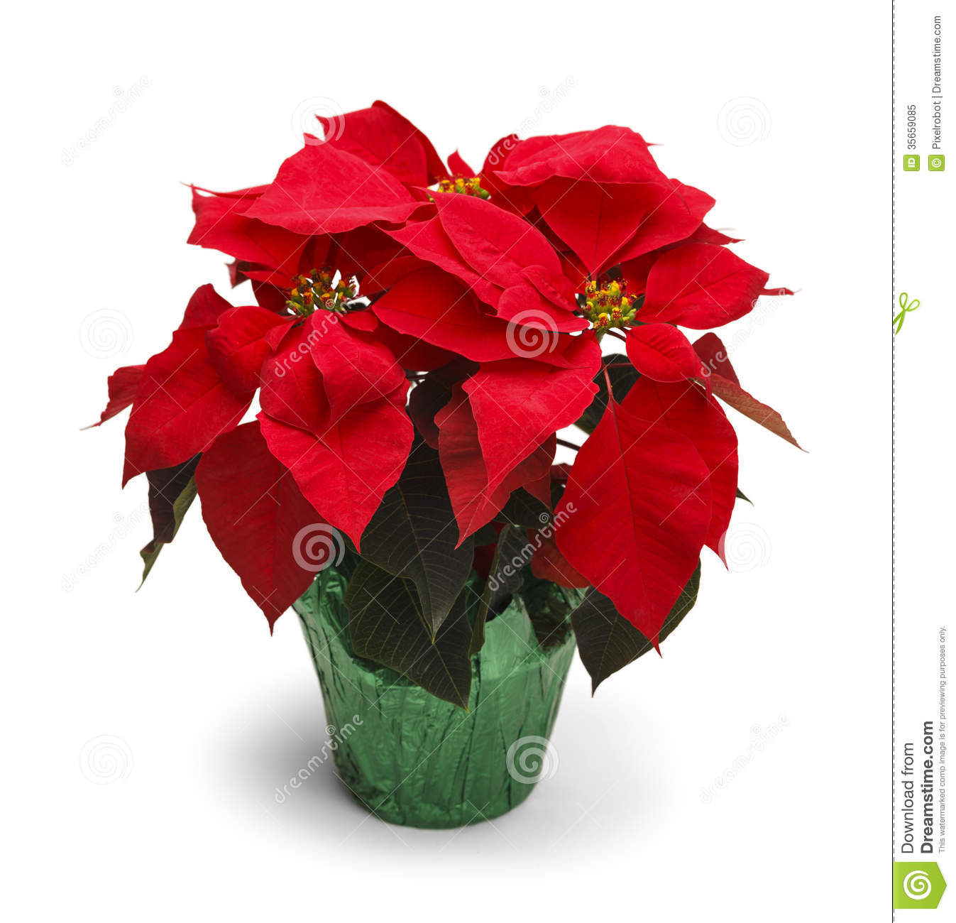 Poinsettia Royalty Free Stock Photo - Image: 35659085