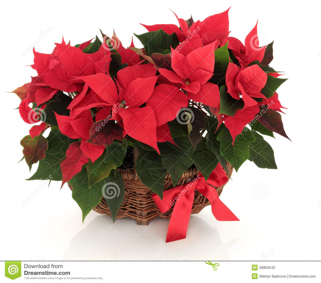 Poinsettia flower arrangement stock photo image 26863542 for Poinsettia arrangements