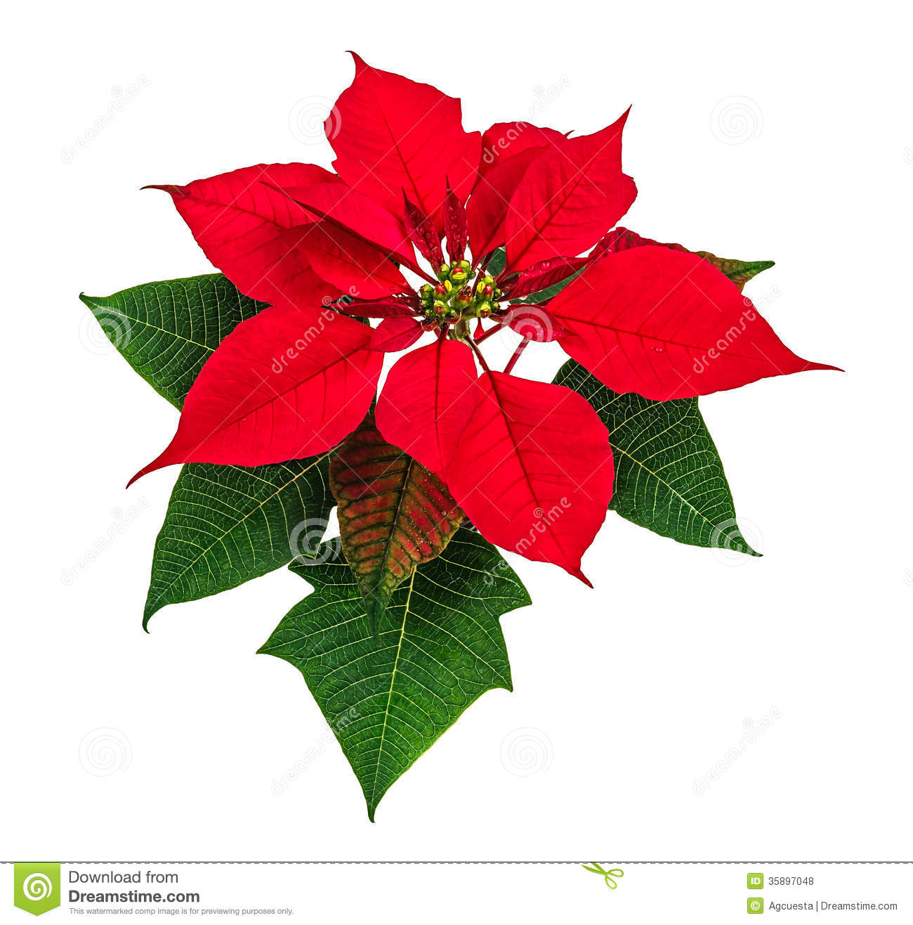 poinsettia flower christmas red isolated white background 35897048