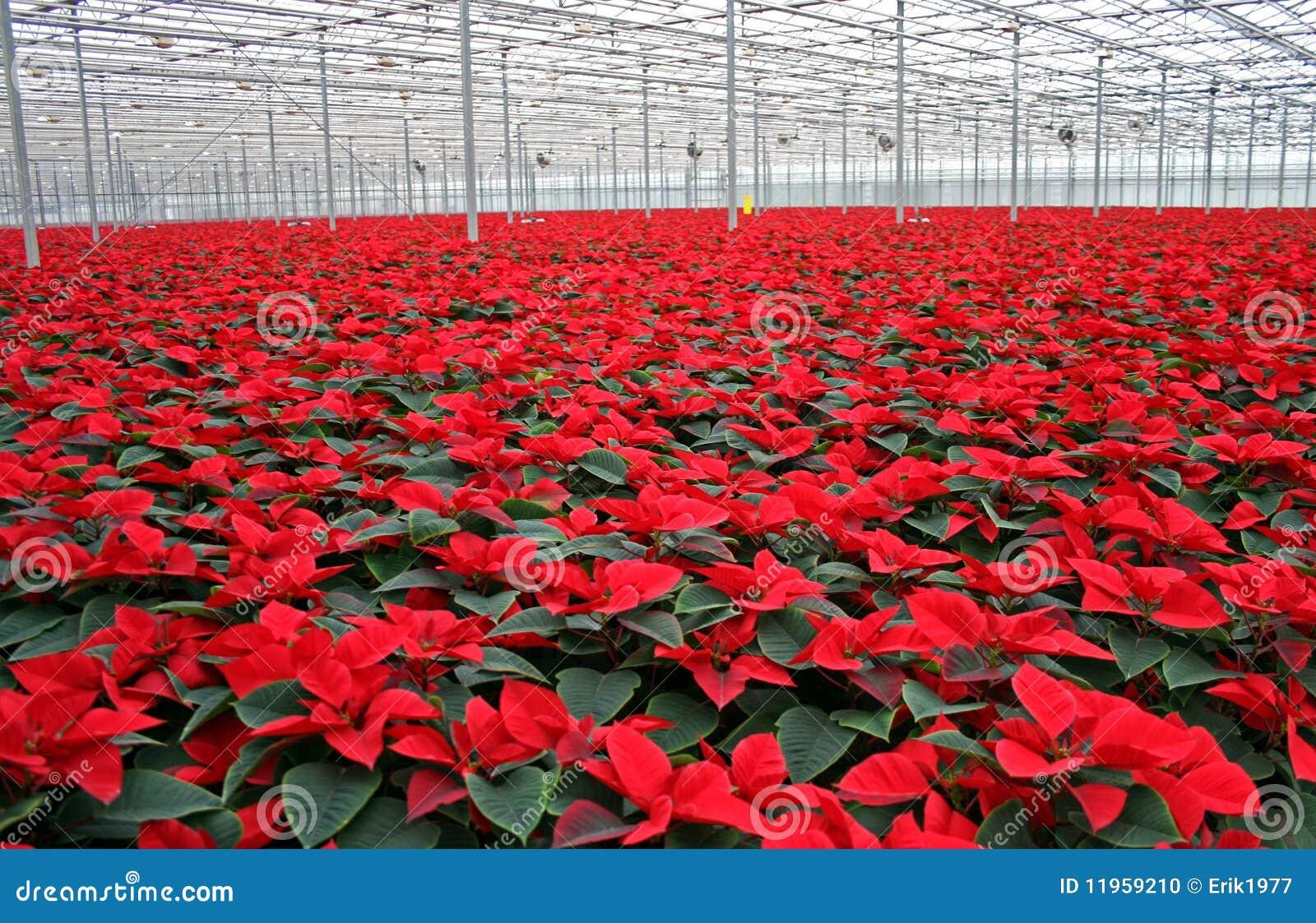 Poinsettia in greenhouse