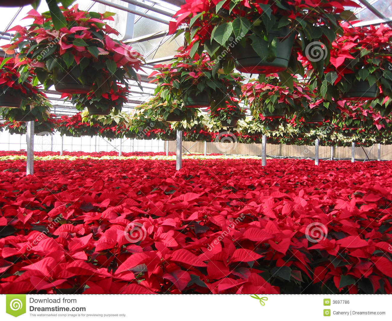 Poinsettia Grower s Greenhouse