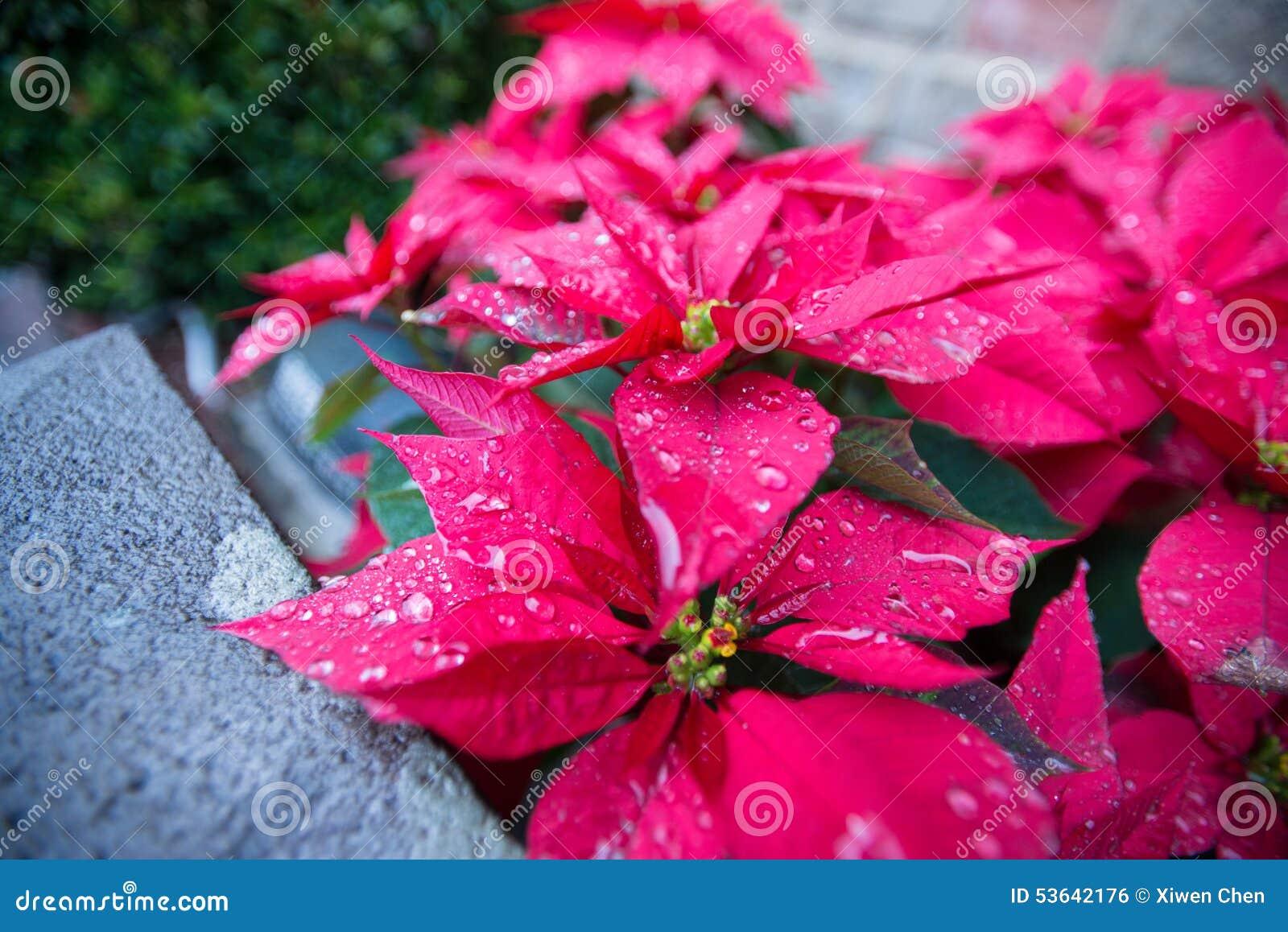 Poinsettia in regen