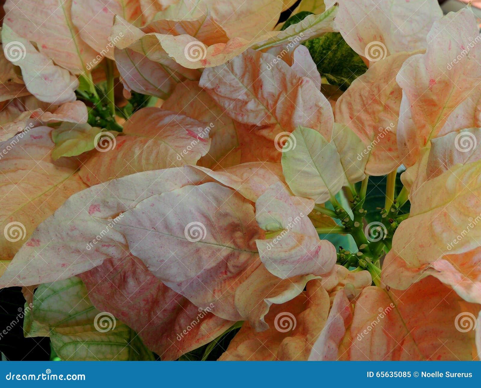 Poinsettia rose