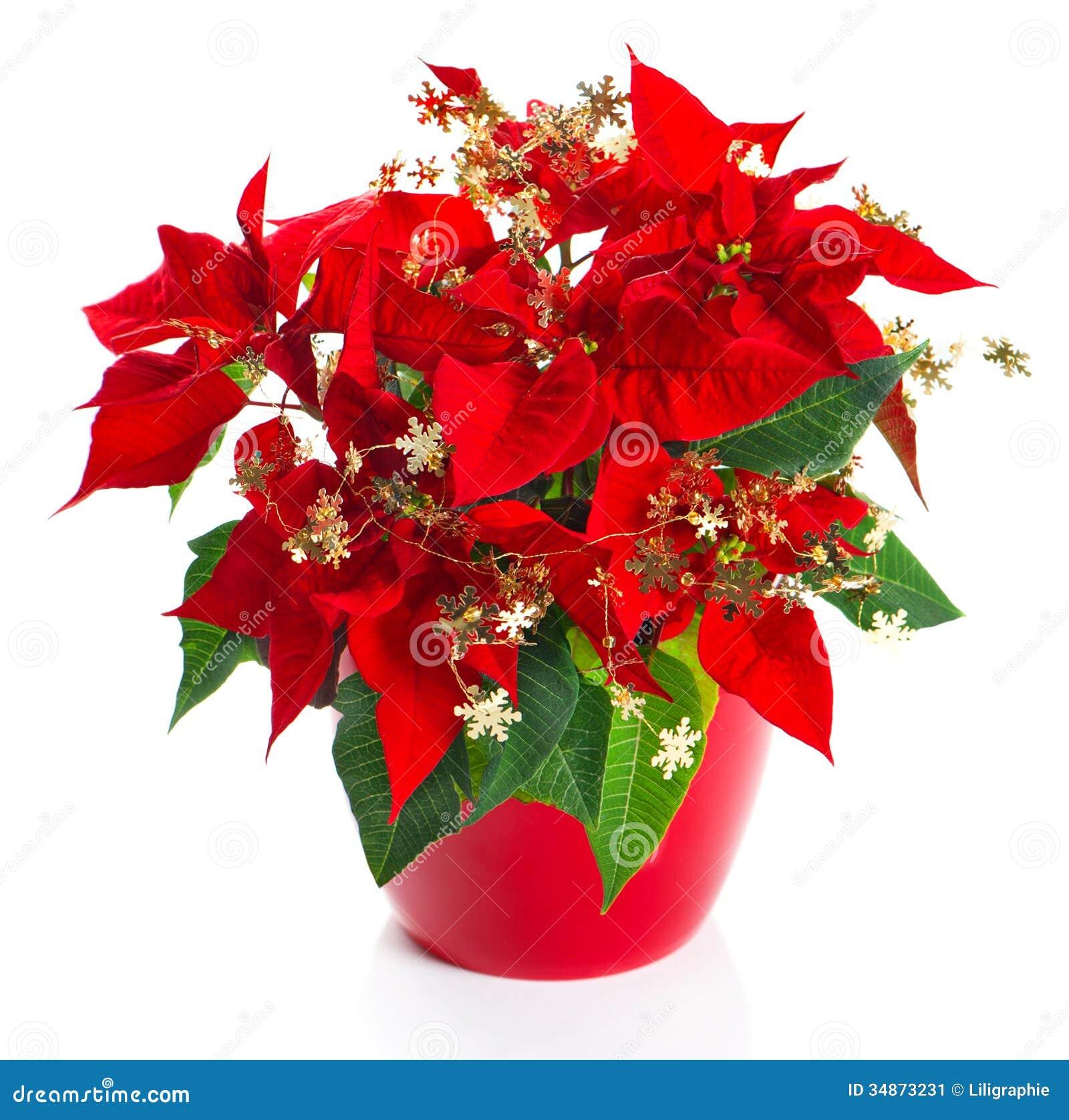 poinsettia rouge de fleur de no l avec la d coration d 39 or image stock image du snowflakes. Black Bedroom Furniture Sets. Home Design Ideas